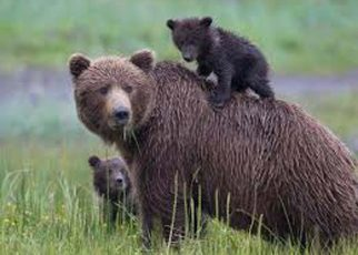This good news comes from wild life, the bear's figure has now reached here